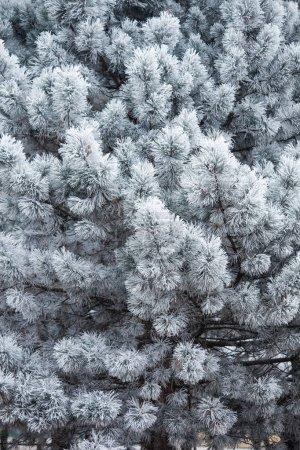 常绿树种满霜_高清图片_邑石网