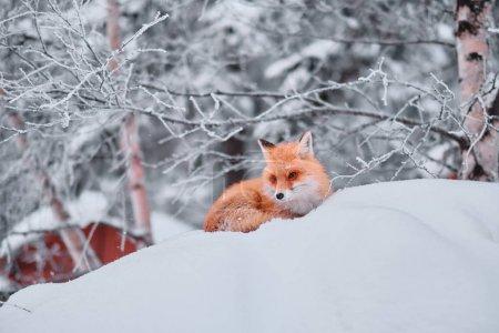 野生红狐狸在雪地里坐着_高清图片_邑石网