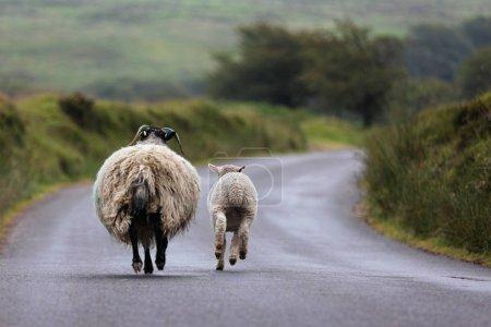 走在路上的母羊和母羊 _高清图片_邑石网