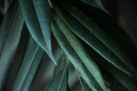 长青叶背景植物特写图
