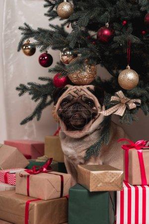pug sitting under christmas tree