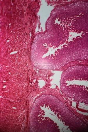 在显微镜下胃段墙