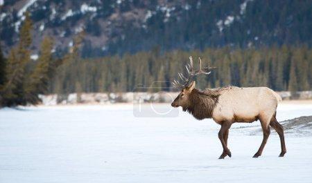 麋鹿在野外,动物。自然、动物_高清图片_邑石网