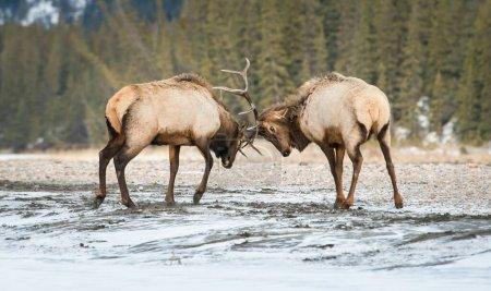 野生麋鹿,动物。自然、动物_高清图片_邑石网