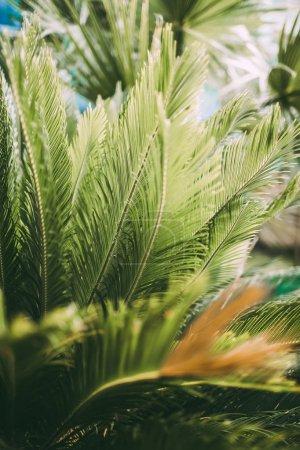 美丽的苏铁棕榈叶