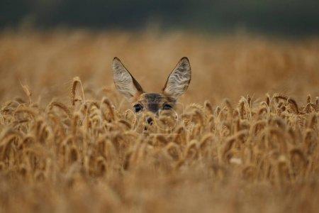 Deer on wheat field